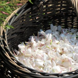 Buy Pure Jasmine Attar & Essential Oil Online