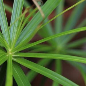 Buy Cyperus Essential Oil (Cyriol or Nagarmotha Oil) Online