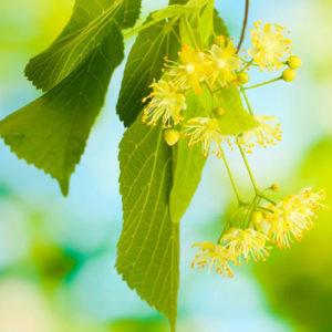 Linden Blossom or Lime Blossom Oil
